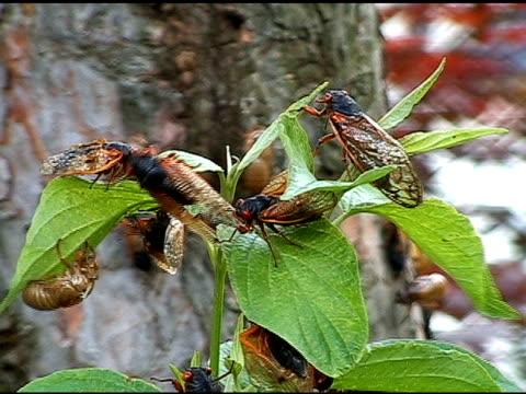 cicadas を証言しております。クローズアップショット - 外骨格点の映像素材/bロール