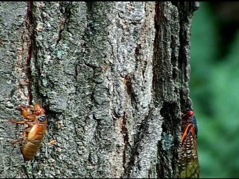 cicadas crawling up tree - illinois stock videos & royalty-free footage