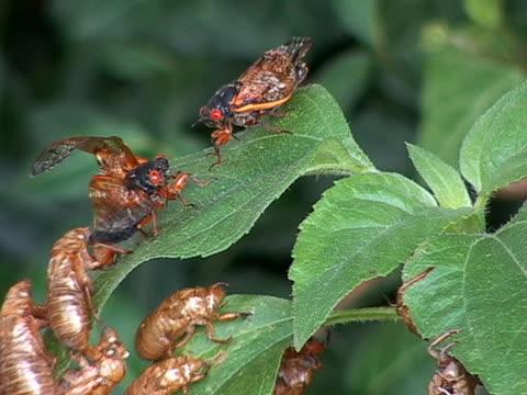 cicadas dead on leaf - illinois stock videos & royalty-free footage