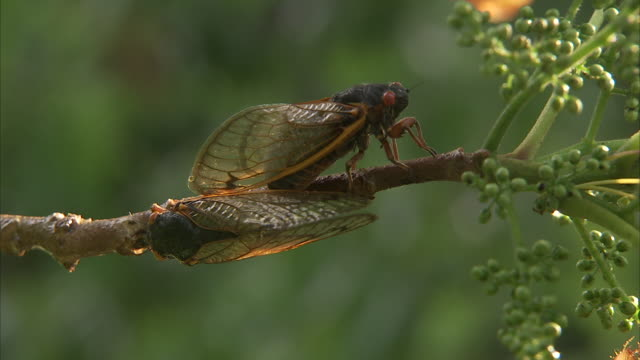 cicadas mate on a slender branch. - insect stock videos & royalty-free footage