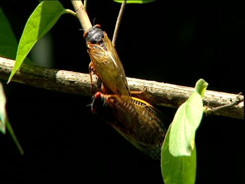Cicadas prepare to mate on twig