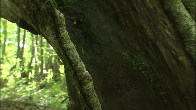 A cicada's shell clings to a trunk of a Japanese beech tree in the forest of Mt. Chokai, Japan.