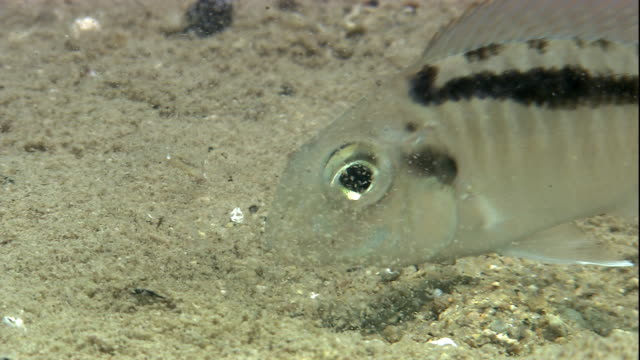 a cichlid forages on a sandy lake bed. available in hd. - gill stock videos & royalty-free footage