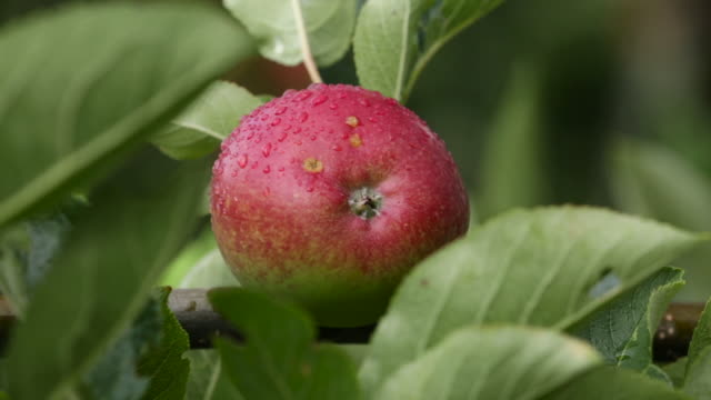 cider apple ripens in orchard, uk - fruit tree stock videos & royalty-free footage