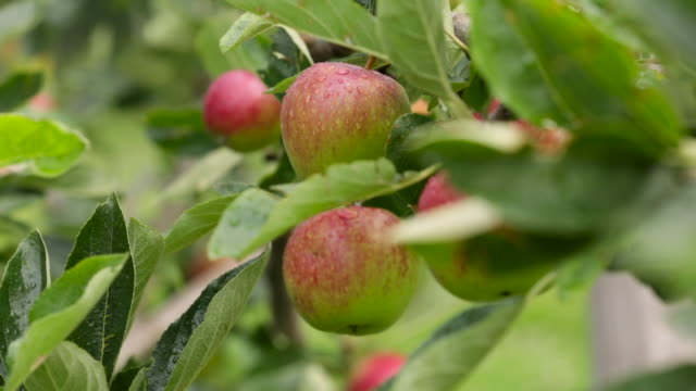 cider apples ripen in orchard, uk - juicy stock videos & royalty-free footage