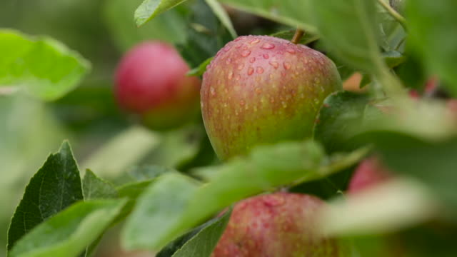 cider apples ripen in orchard, uk - apple fruit stock videos & royalty-free footage