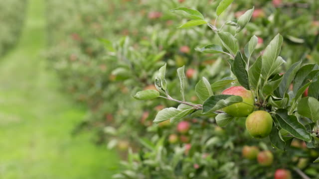 cider apples ripen in orchard, uk - orchard stock videos & royalty-free footage