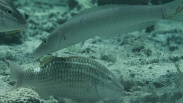 cigar wrasse (cheilio inermis) and goatfishes (parupeneus species) swim over seabed - triglia tropicale video stock e b–roll