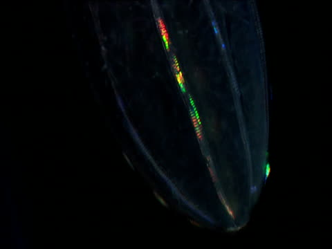 cilia beat on beroe comb jelly creating iridescent patterns - struttura cellulare video stock e b–roll