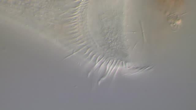 vídeos de stock, filmes e b-roll de ecu cilia beating - ciliado