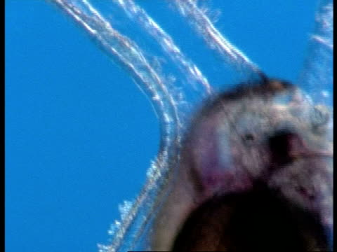 bcu cilia hairs moving on sea snail larva, underwater microscopic view, australia - struttura cellulare video stock e b–roll