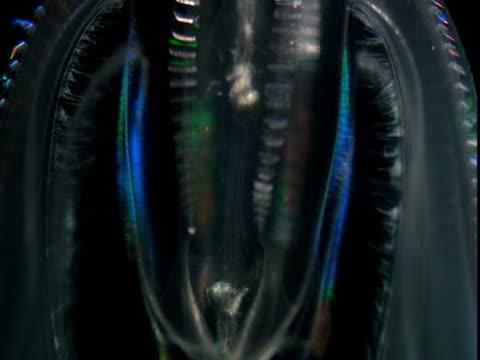 cilia undulate across a comb jelly. - struttura cellulare video stock e b–roll