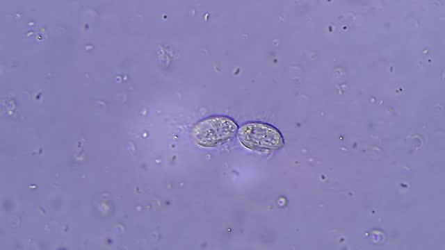 vidéos et rushes de division de cellules ciliate - paramécie