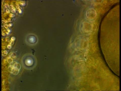 ciliate protozoan - protozoan stock videos and b-roll footage