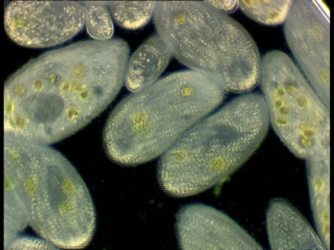 ciliate protozoans, paramecium, black background includes conjugating - organismo unicellulare video stock e b–roll