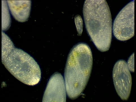 ciliate protozoans, paramecium, black background - unicellular organism stock videos & royalty-free footage