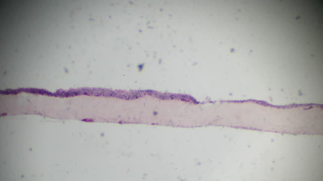 Ciliated epithelial section in microscopy