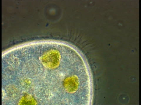 bcu ciliated protozoa, showing cilia and organelles - animale microscopico video stock e b–roll