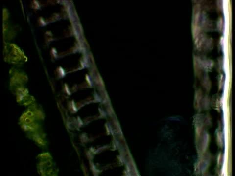vídeos de stock, filmes e b-roll de ciliates moving near plant cells. dark field - ciliado