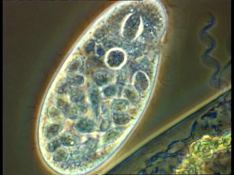 ciliates, spirochaeta bacteria and bacteria from pond water, good cilia action - らせん菌点の映像素材/bロール