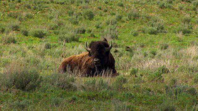 cineflex buffalo 05 - wyoming stock videos & royalty-free footage