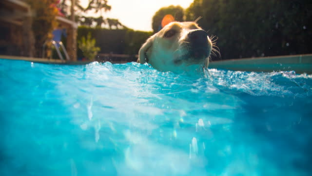 Cinemagraph effect of a dog swimming in swimming pool with splash and motion during hot summer at home.