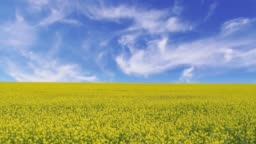 cinemagraph of a landscape with a yellow field of rapeseed under a blue sky