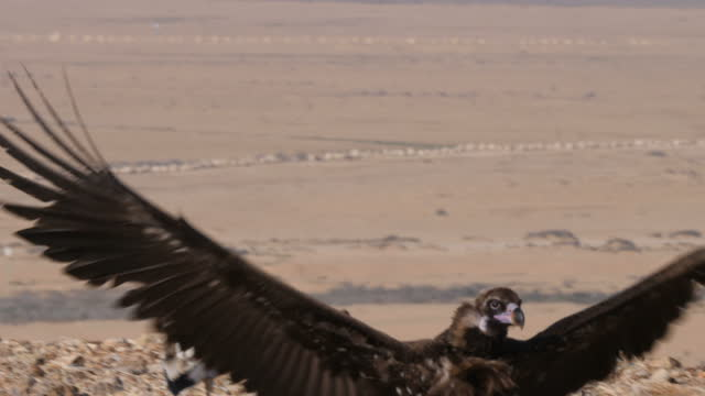 cinereous vulture(eurasian black vulture), aegypius monachus, immature walking towards camera - bird of prey stock videos & royalty-free footage