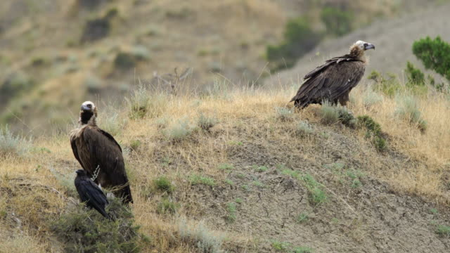 cinereous vulture (aegypius monachus) - audio available stock videos & royalty-free footage