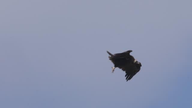 vidéos et rushes de vautour cineur (aegypius monachus) - vautour moine