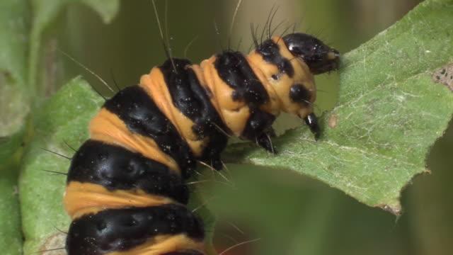 cinnabar moth (tyria jacobaeae) caterpillar feeding on ragwort. - toxic substance stock videos & royalty-free footage