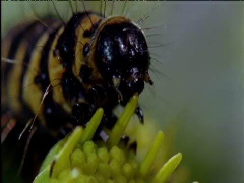cinnabar moth caterpillar feeds on ragwort flower uk - animal markings stock videos & royalty-free footage