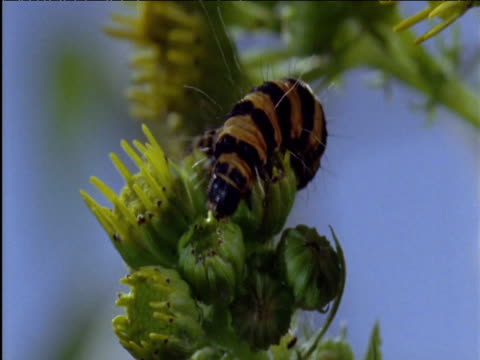 cinnabar moth caterpillar on ragwort uk - animal markings stock videos & royalty-free footage