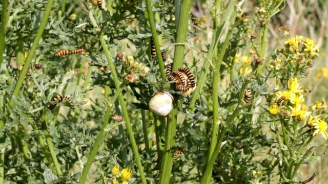 cinnabar moth caterpillars tyria jacobaeae hd video - four animals stock videos & royalty-free footage