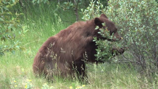 シナモンの黒い熊を食べる buffaloberry ベリー ジャスパー国立公園アルバータ州カナダ - ジャスパー国立公園点の映像素材/bロール
