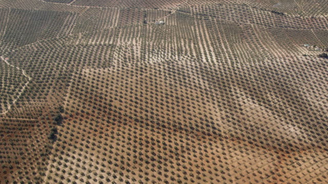 circling aerial view of olive plantation