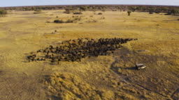 Circular aerial view of tourists in a 4x4 off-road safari vehicle watching a large herd of Cape buffalo grazing in the Okavango Delta, Botswana
