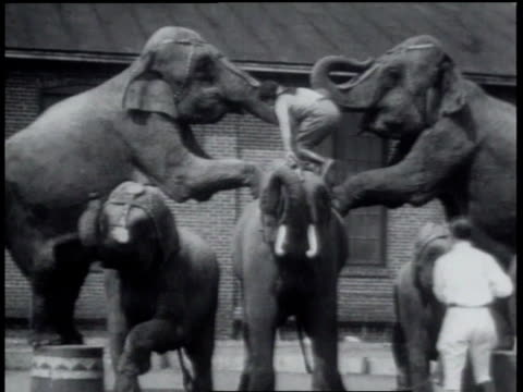 1931 MS Circus performer lifted by elephants