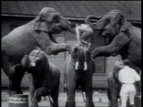 vidéos et rushes de 1931 ms circus performer lifted by elephants - 1931
