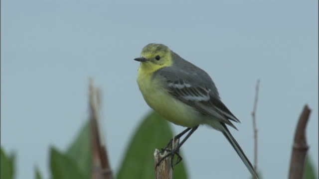 Citrine wagtail perches on twig then flies away, Bayanbulak grasslands