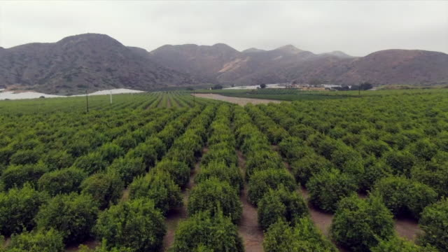 citrus grove in camarillo los angeles california usa on monday may 13 2019 - camarillo stock videos & royalty-free footage