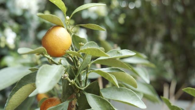 stockvideo's en b-roll-footage met citrus japonica thunb. orange - sinaasappel