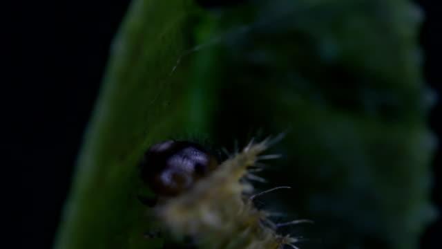 zitrus schwalbenschwanz schmetterlinge - füttern stock-videos und b-roll-filmmaterial