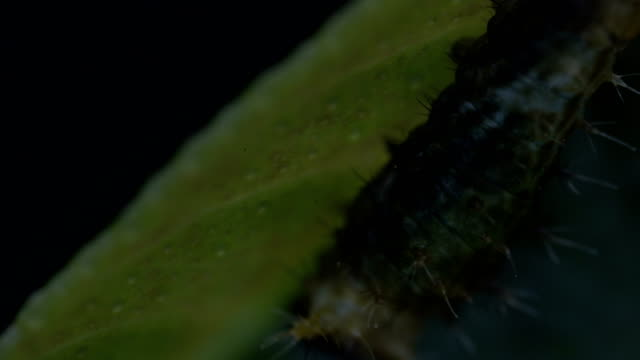 citrus swallowtail butterflies - larva stock videos & royalty-free footage