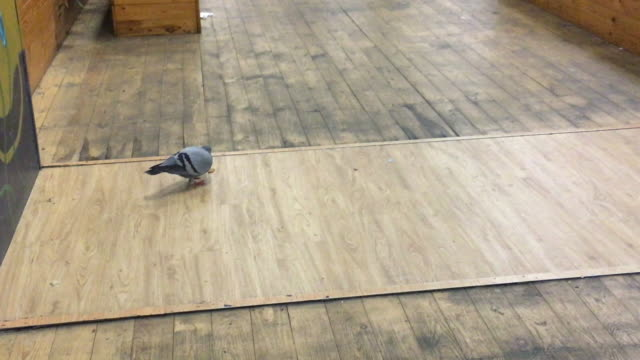 city dirty dove looking for food - going round in circles stock videos and b-roll footage