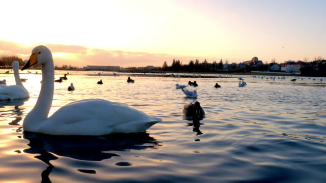 city lake with birds in reykjavik, iceland - reykjavik stock videos and b-roll footage