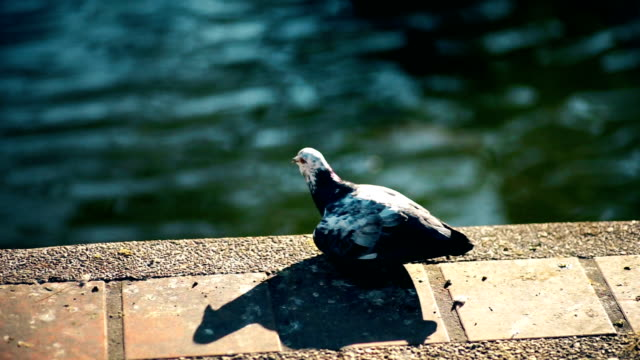 City pigeon by the side of water in the city.