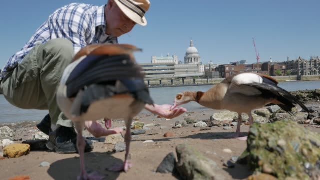 city wildlife - egyptian geese - river thames stock videos & royalty-free footage