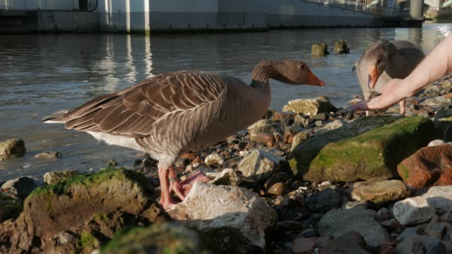 city wildlife - feeding two greylag geese. - goose meat stock videos and b-roll footage