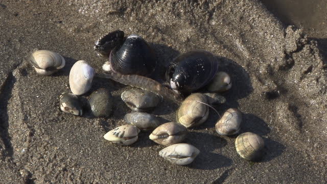 clam digging - fukuoka prefecture stock videos & royalty-free footage